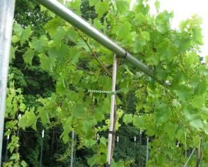 Vines-3