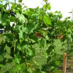 Vines-4